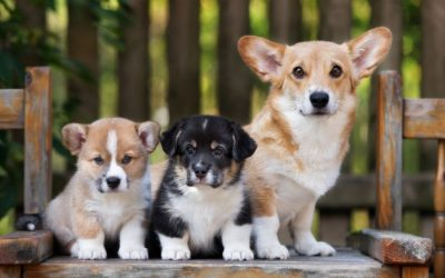 Pandemic Puppies: The Importance of Puppy Socialization